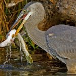 Robert Bohnert / Great Blue Heron With Fish / 3rd / Digital Advanced Nature