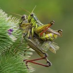 Annette Seip / Grasshoppers Mating / 1ST / Digital Beginner Nature