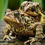 Tony Paine - Mating Toads - 2nd - Digital Intermediate Nature