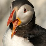 Raymond Hsu / Atlantic Puffin / HM / Digital Advanced Nature