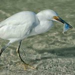 Karen Simmonds - Snowy Egret With Fish - 2nd - Digital Advanced Nature