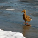 Jon Clarke / Winter Duck / 3rd / Digital Beginner Nature