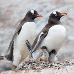 David Simmonds / Gentoo Penguin Family / 3RD / Digital Advanced Nature