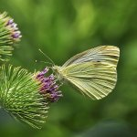 Paul Ewington - Cabbage Butterfly And Thistle - 2nd - Digital Beginner Things That Go Together