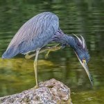 David Simmonds - Tricolour Heron Hunting - 1st - Level 2 Pictorial