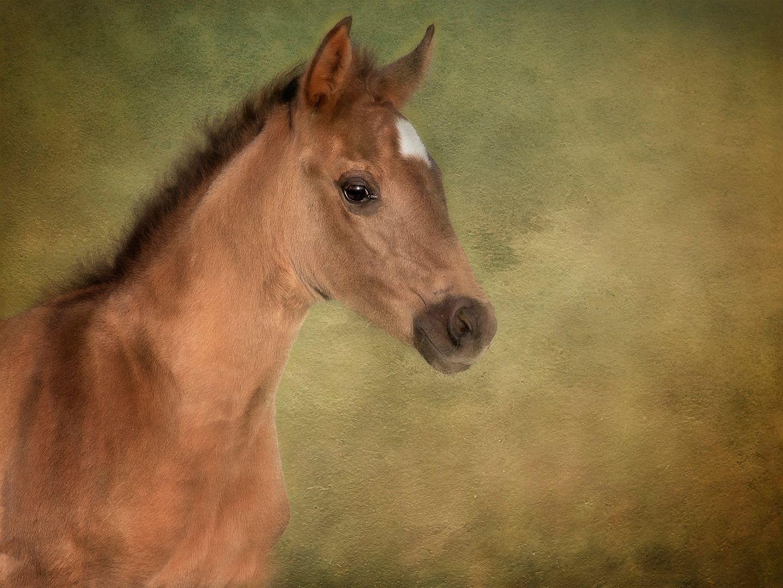 Linda Wiesner – Painterly Foal – HM