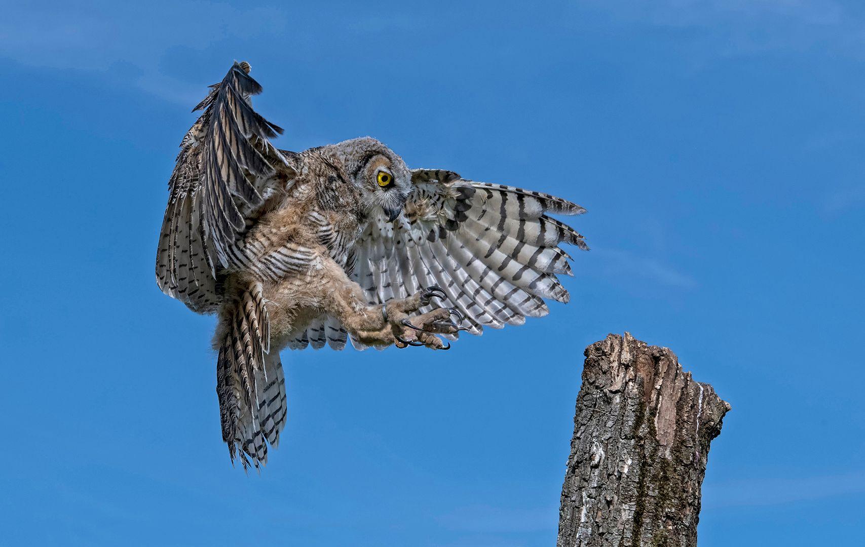 Mabel Au – Great Horned Owl Landing – 1st