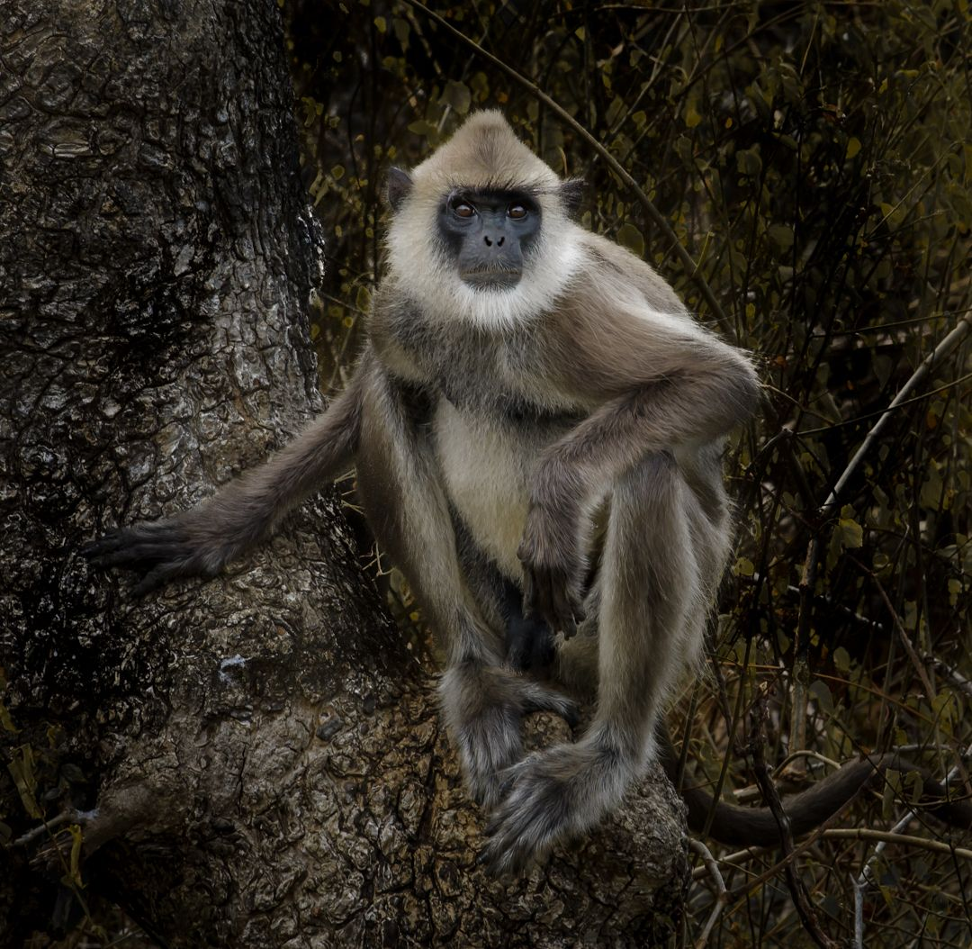 Jennifer Fowler – Tufted Langur Monkey – HM