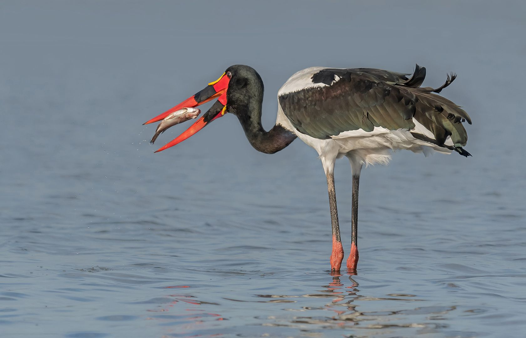Saddle Billed Stork With Catch