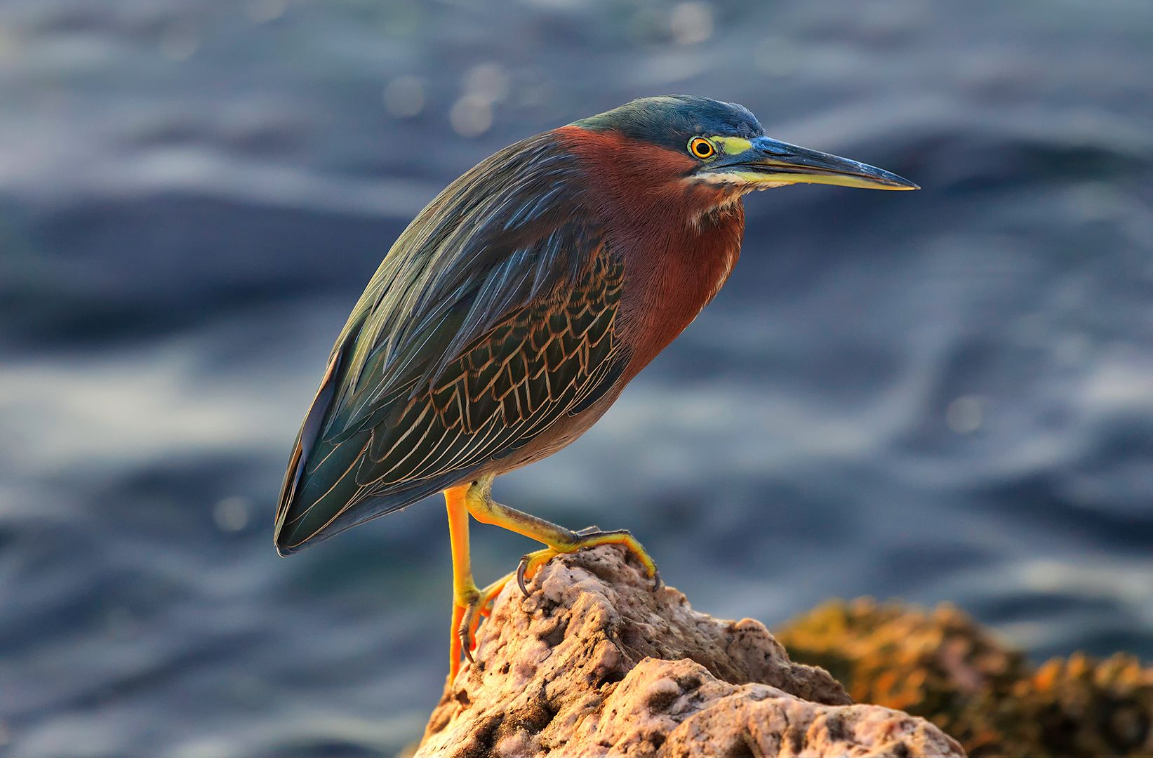 Eros Fiacconi – Green Heron by the Sea – HM