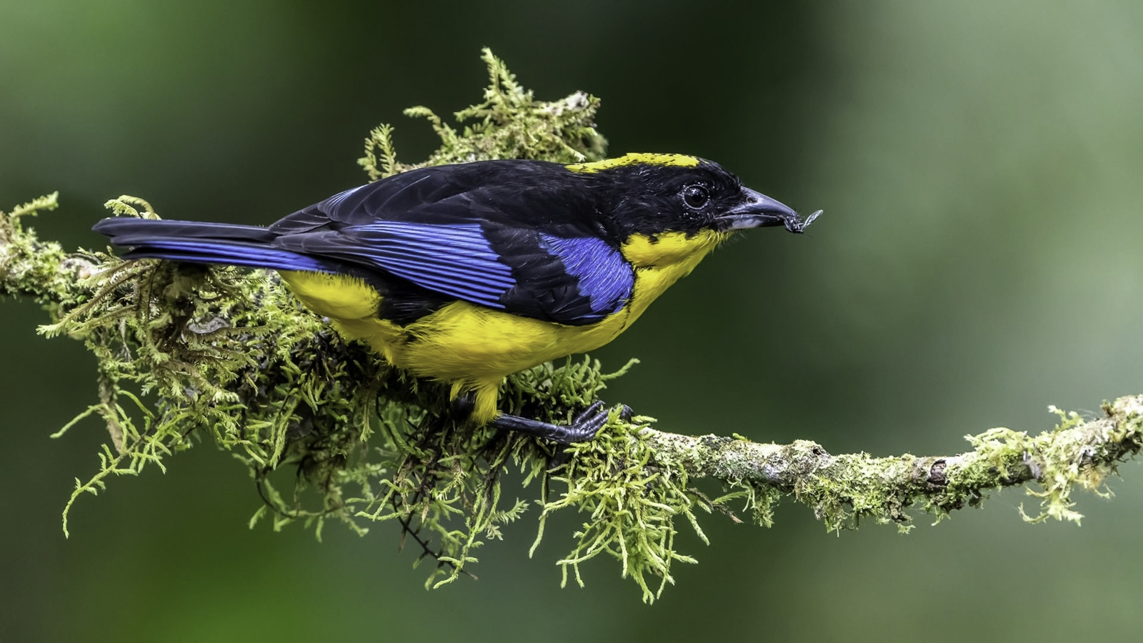 Blue-winged Mountain Tanager with food