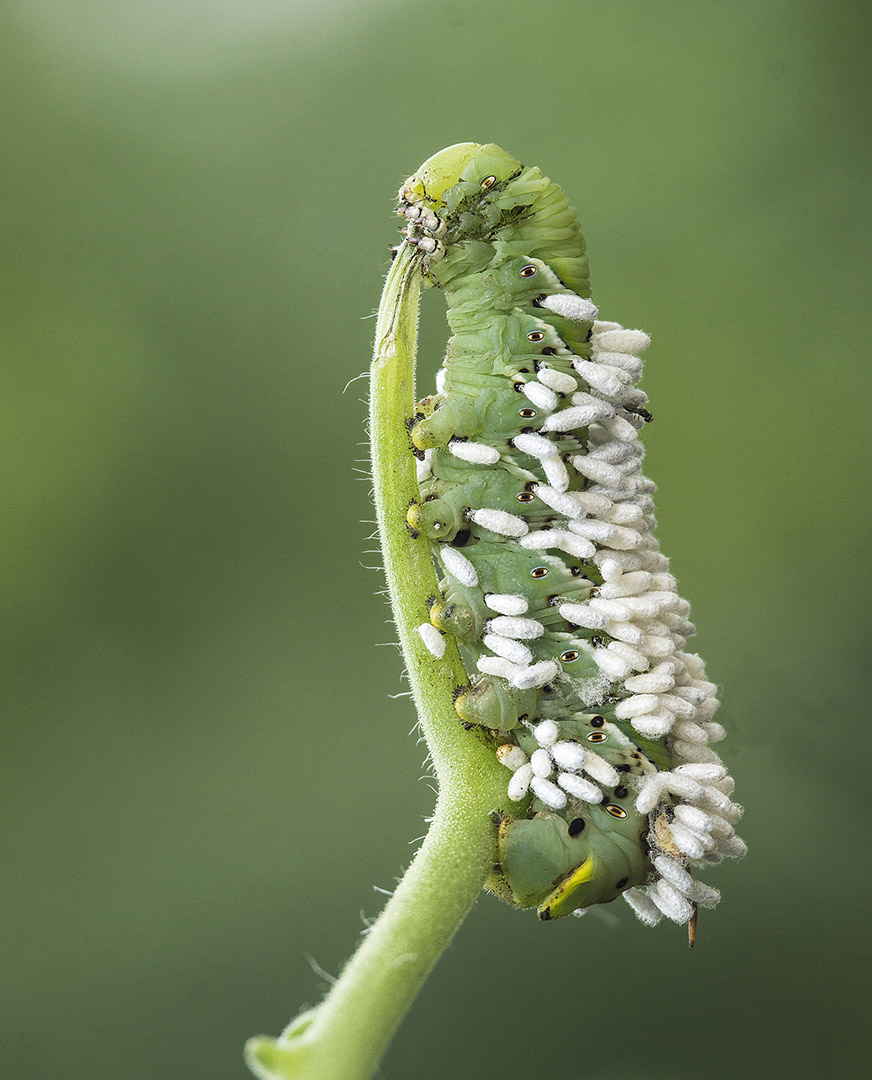 Al Tilson – Tomato Worm With Parasites – 3RD