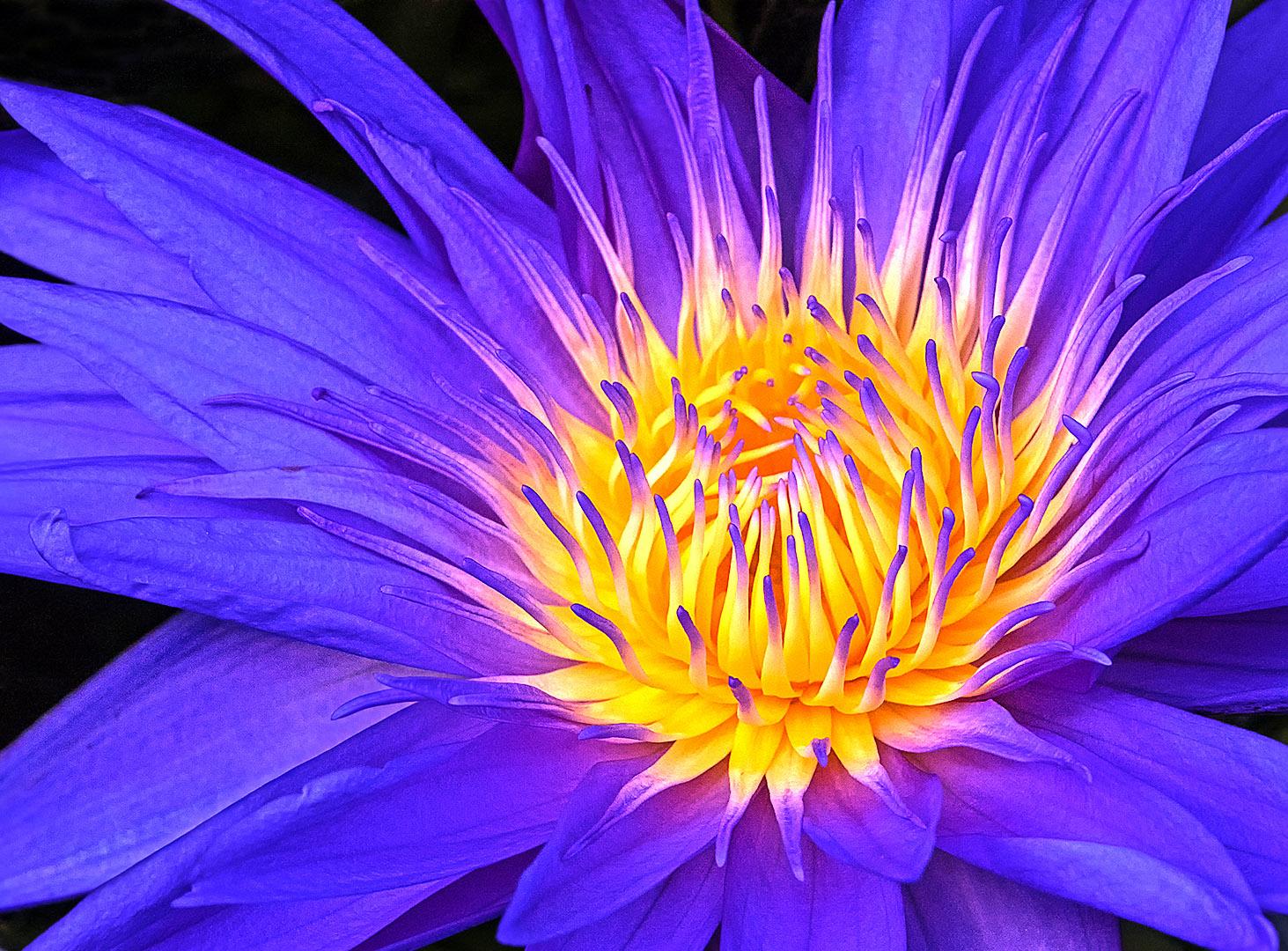 Barbara Kell – Amazon Water Lily – 1ST