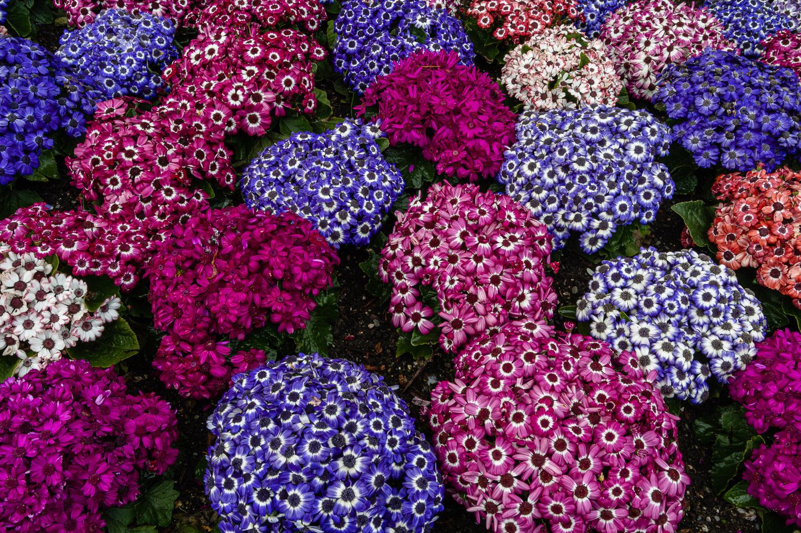 Corinne Baron – cineraria flower bed – 1ST