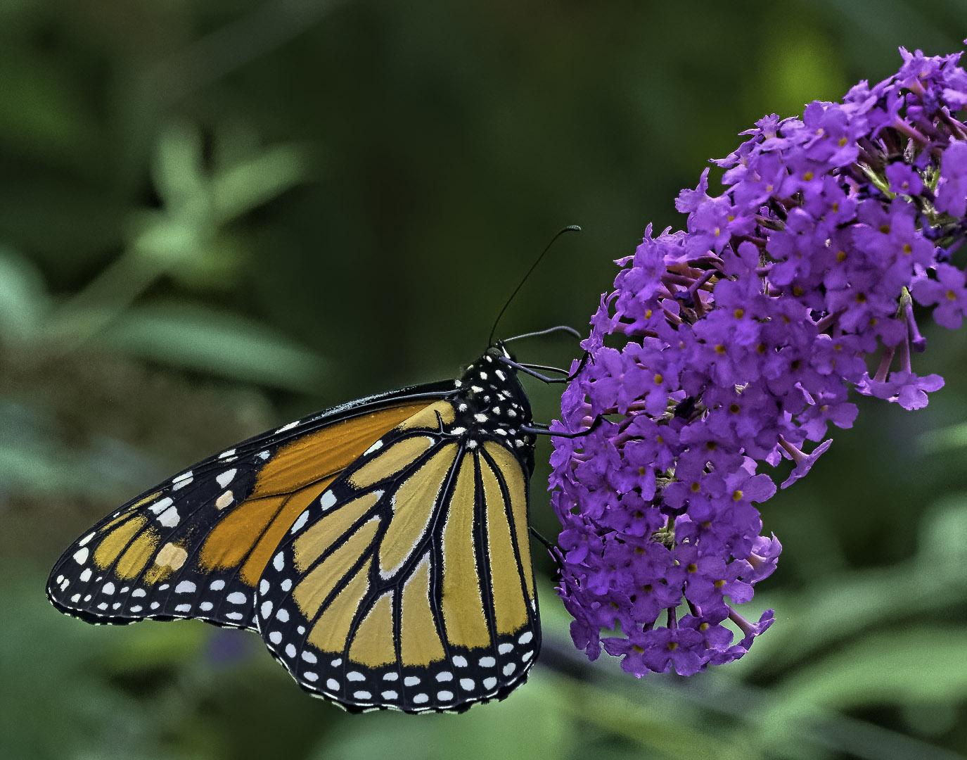 John (Giovanni) Colonna – Monarch Butterfly on Buddleia – HM