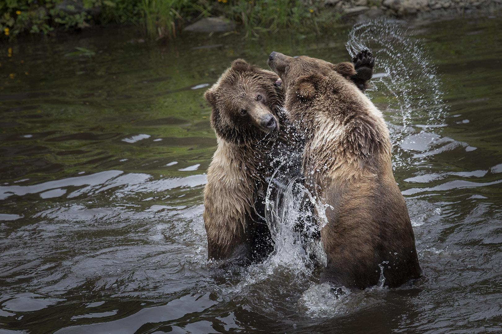 Linda Wiesner – Alaskan Brown Bears – HM