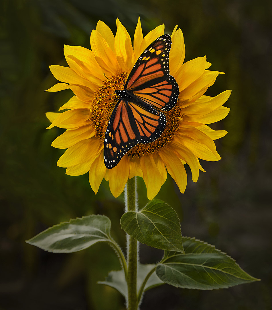 Mike Feraco – Butterfly on Sunflower – 2ND