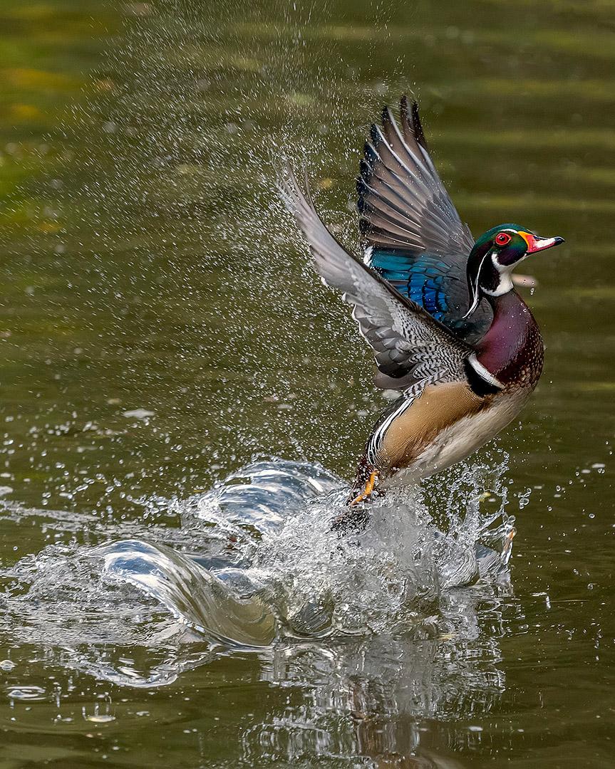 Paul Janosi – Wood duck drake takeoff – 2ND