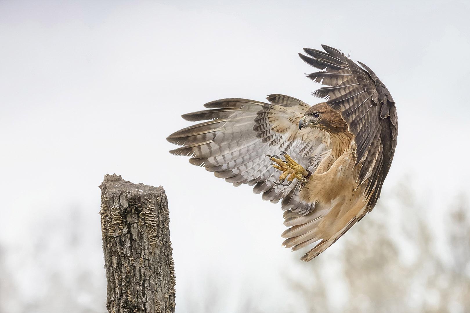 Sandy (Yan Hua) Lu – Ret-tail hawk landing – 1ST