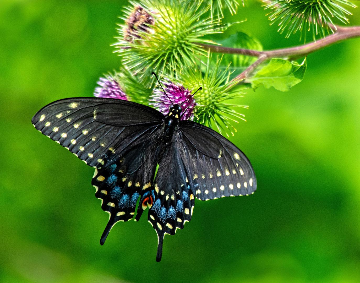Sue Adorjan – Black Swallowtail Butterfly – HM