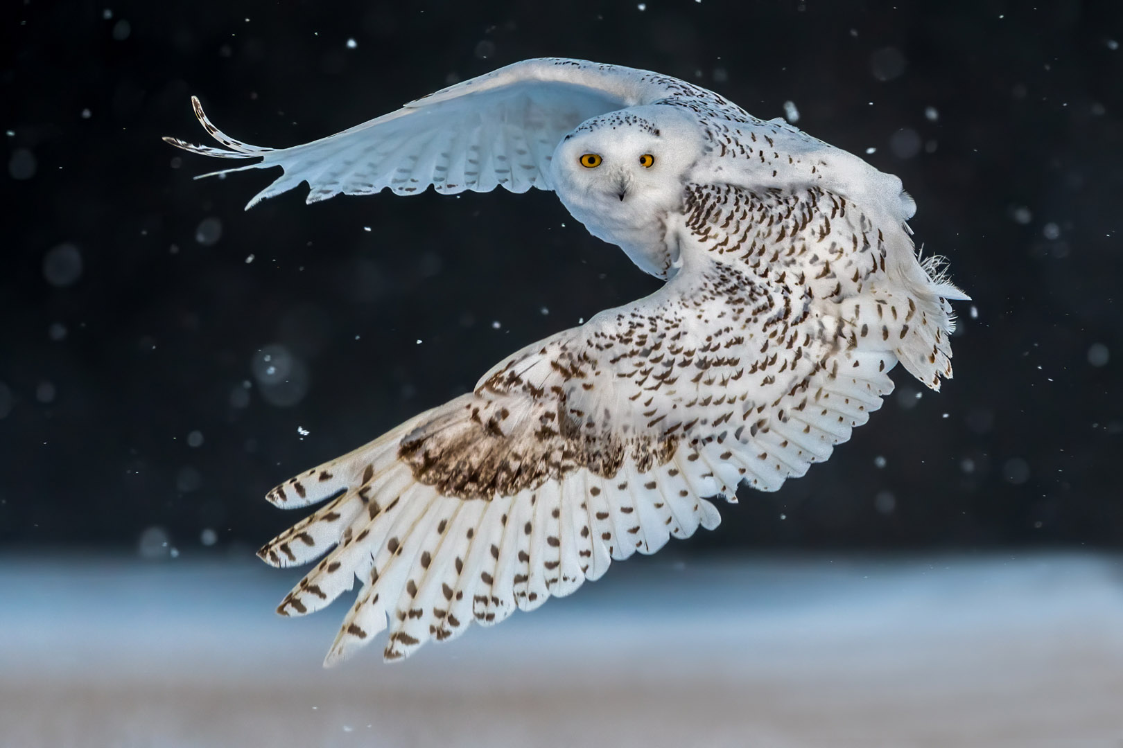 Vincent Filteau – Snowy Owl on snowy day – HM