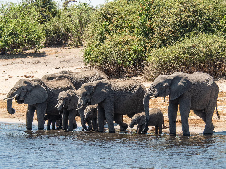 Barbara Stephen – Elephants Drinking at Chobe River – HM