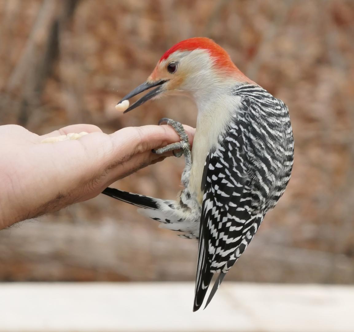 Diane Pezzini – Red Bellied Woodpecker – HM