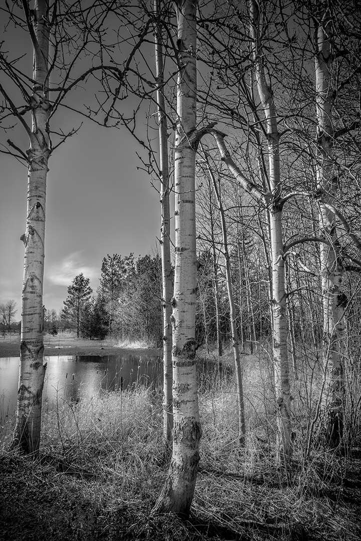 Mike Feraco – Birch Trees in March – HM