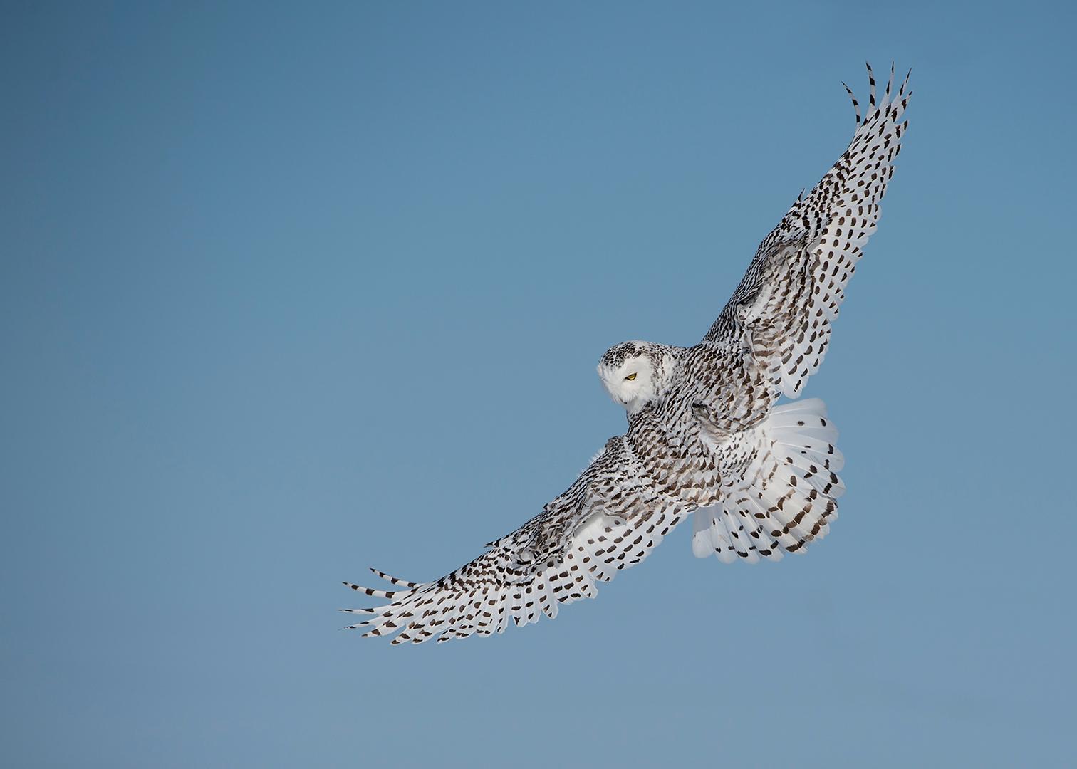 Paul Janosi – Snowy Owl in flight – 2ND