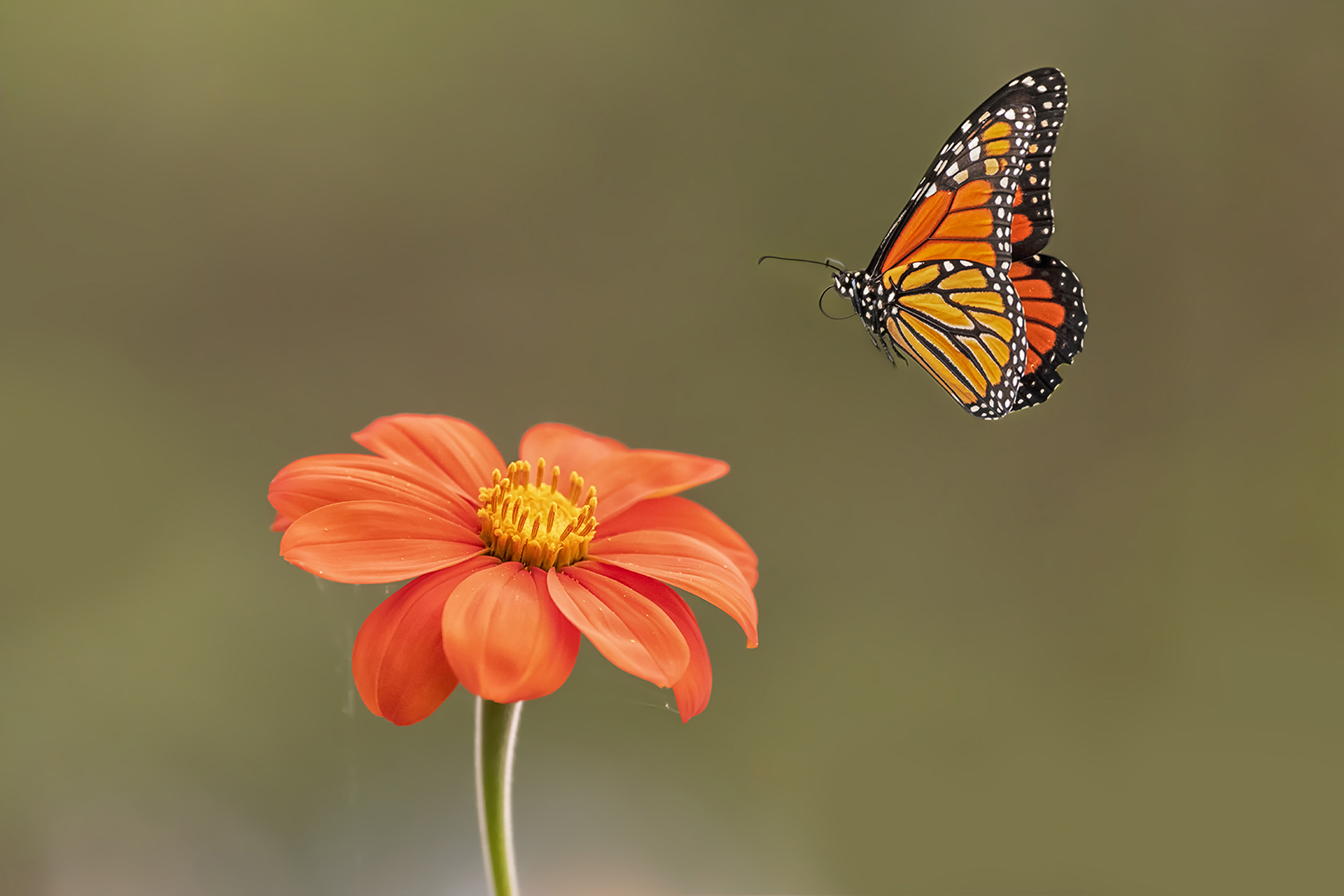 Sandy (Yan Hua) Lu – A Monarch and a Tithonia – 3RD