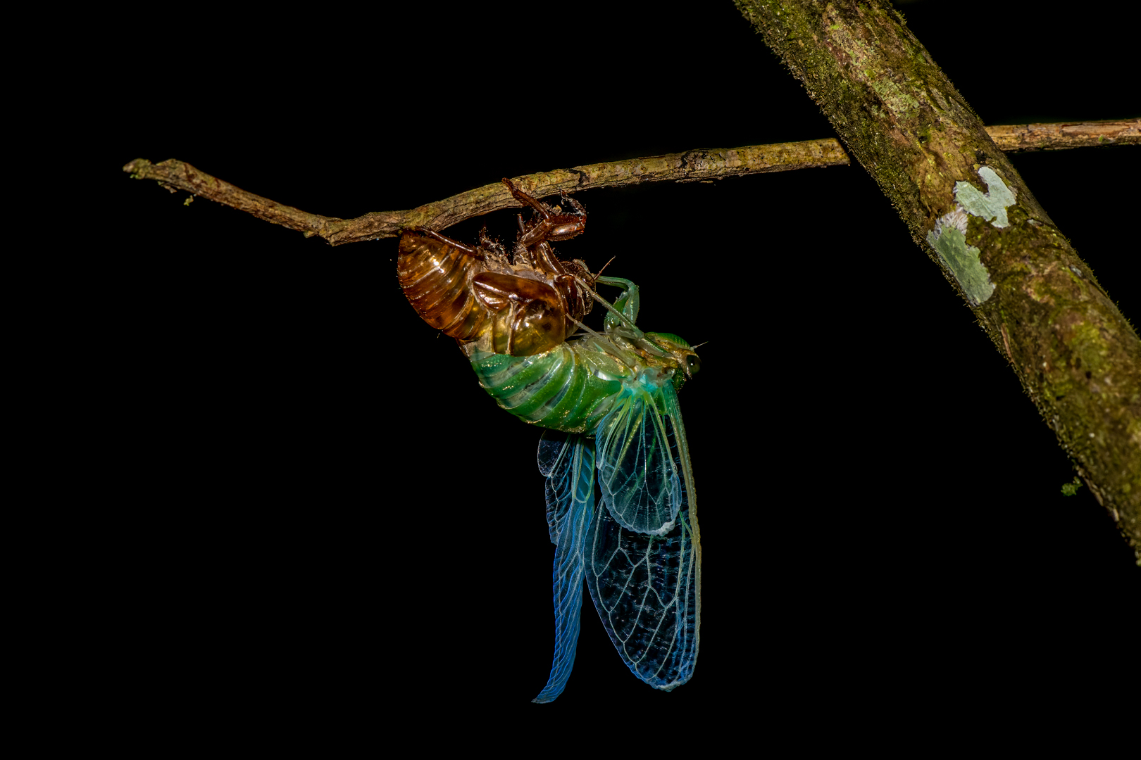 Vincent Filteau – Cicada emerging from chrysalis – 2ND