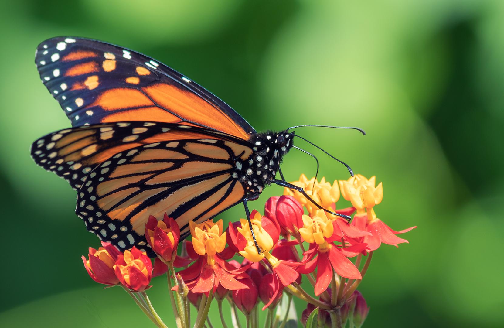 Cid Negri – Monarch on Milkweed – 3RD
