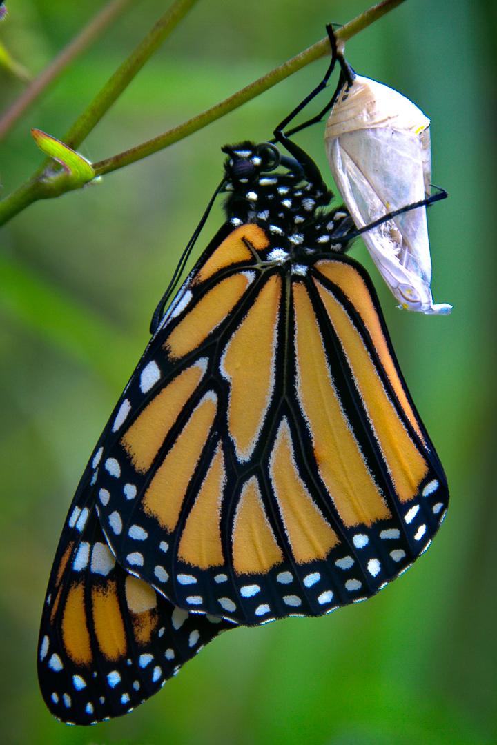 David Jackman – Monarch Butterfly & Chrysalis – HM