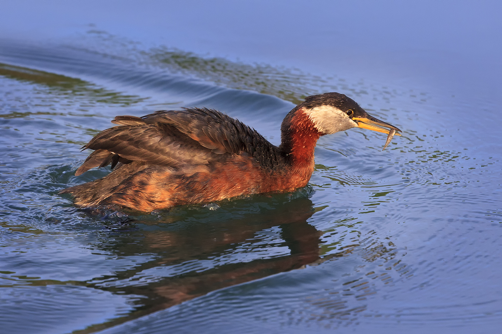 Eros Fiacconi – Red Neck Grebe with Catch – HM