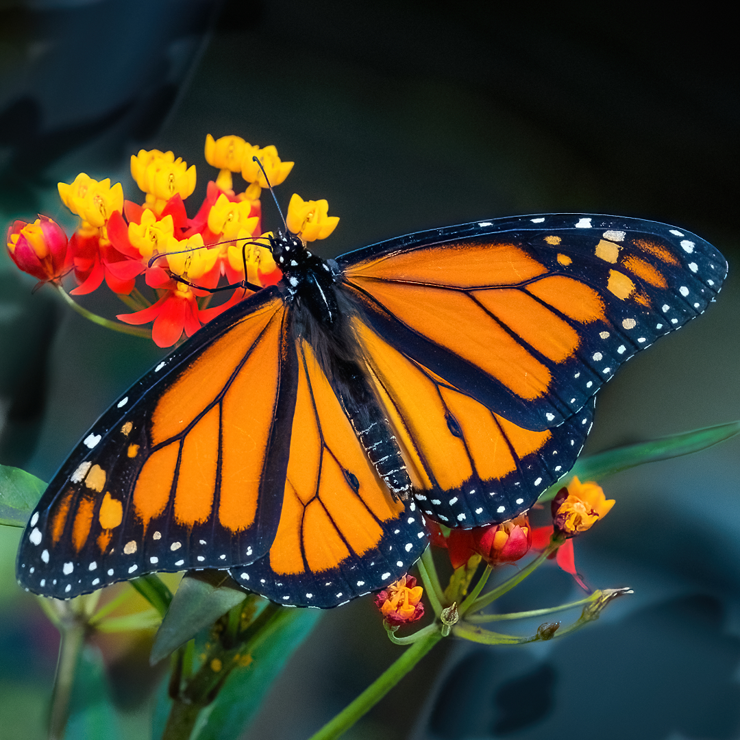 John (Giovanni) Colonna – Monarch Butter on Red Milkweed – 1ST
