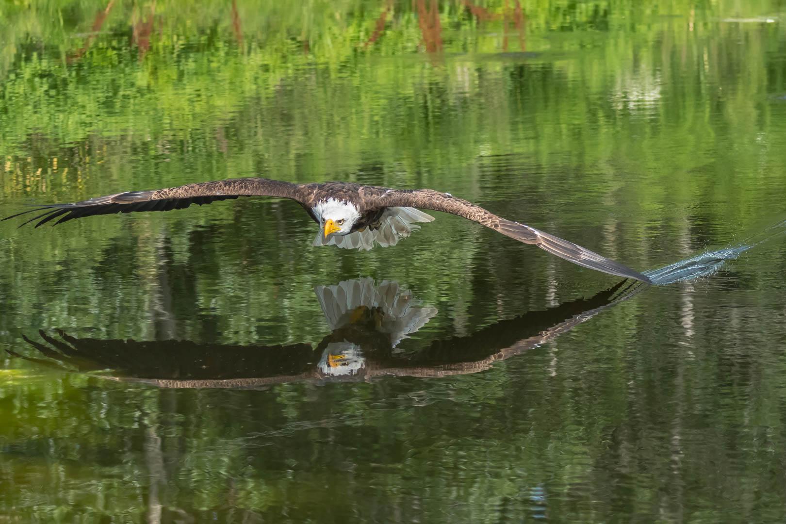 Margaret Kwan – Bald Eagle in flight – 1ST