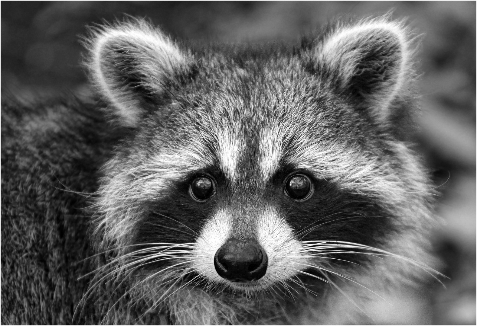 Rob Thorne – Racoon – 1ST