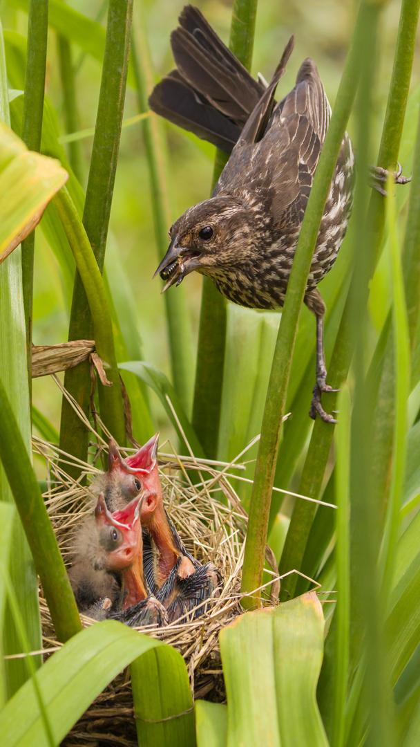 Sophie Matta – Blackbird Feeding Her Chicks – 1ST
