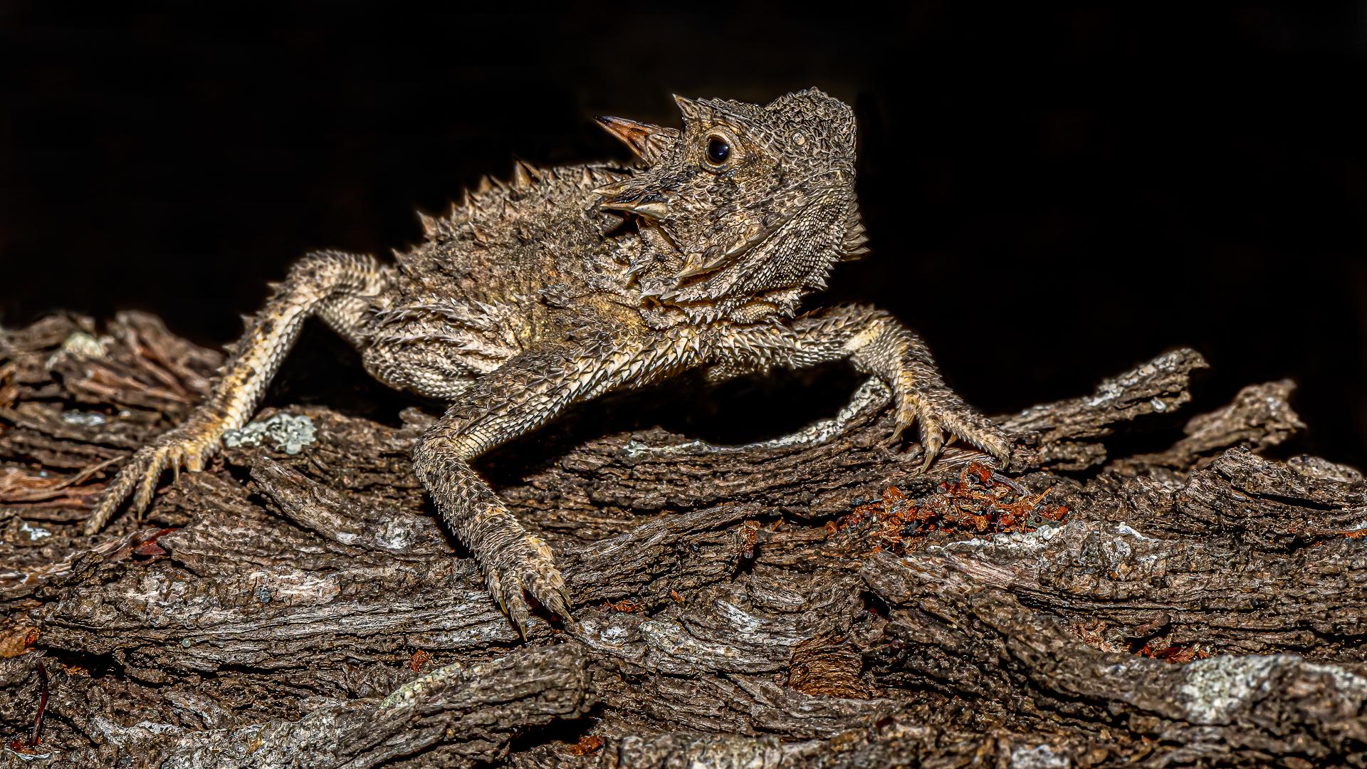 Vincent Filteau – Camouflaged Texas Horned Lizar – HM