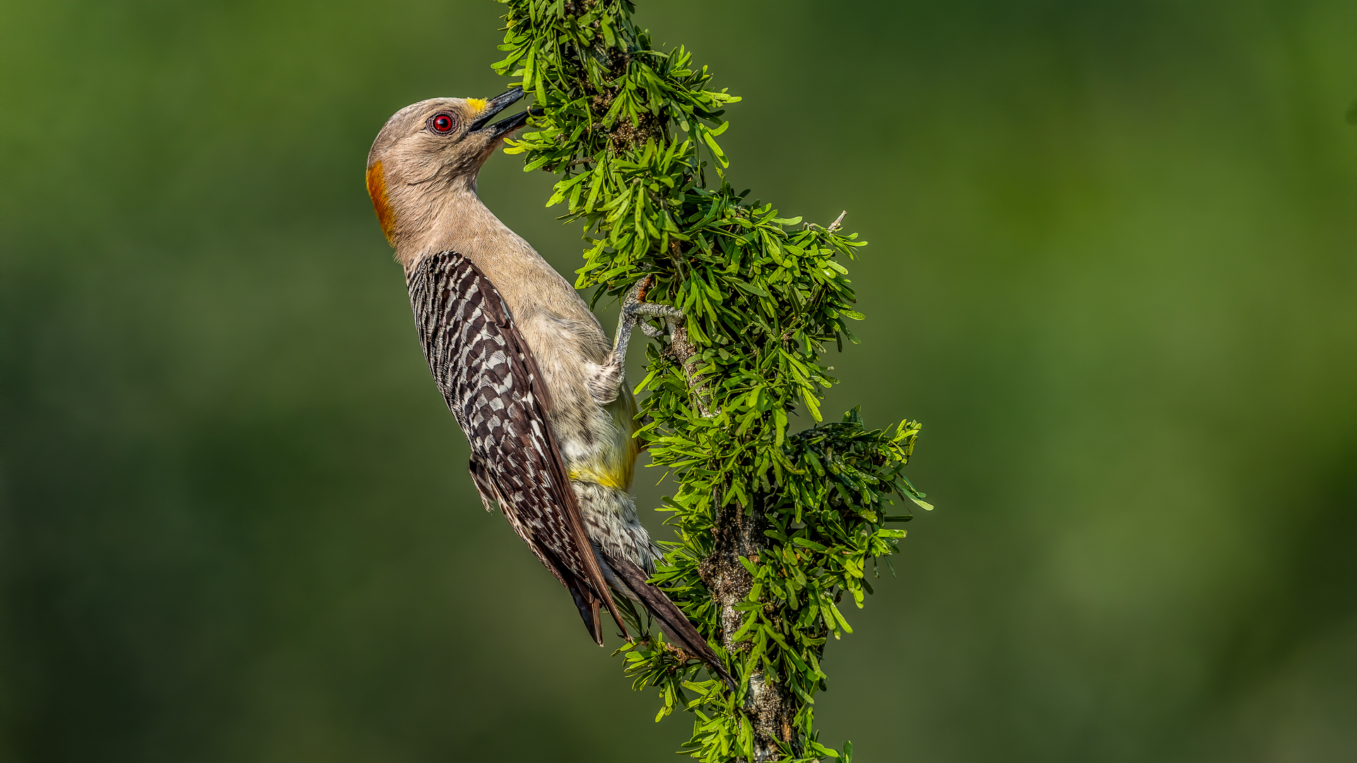 Vincent Filteau – Golden-fronted Woodpecker feed – 1ST