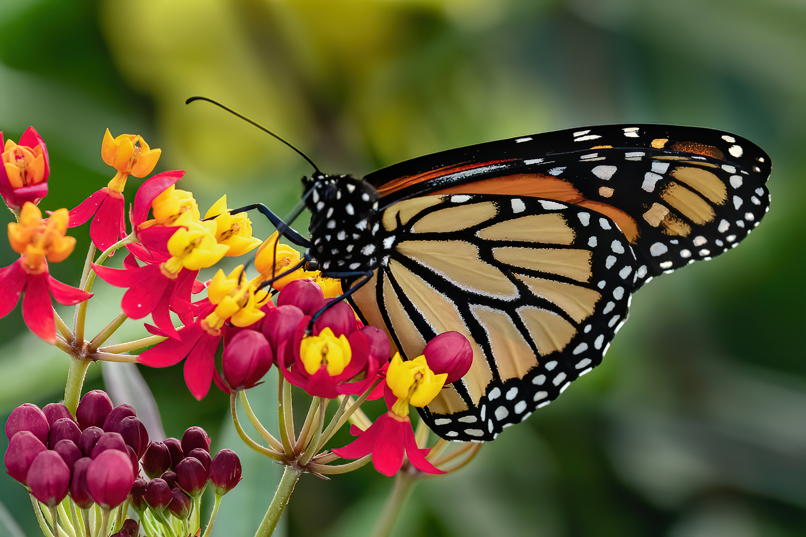 John (Giovanni) Colonna – Monarch on Red Milkweed – 1ST