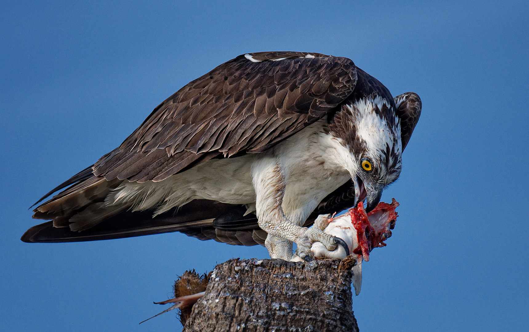 Michael Laezza – Osprey Feeding – 1ST