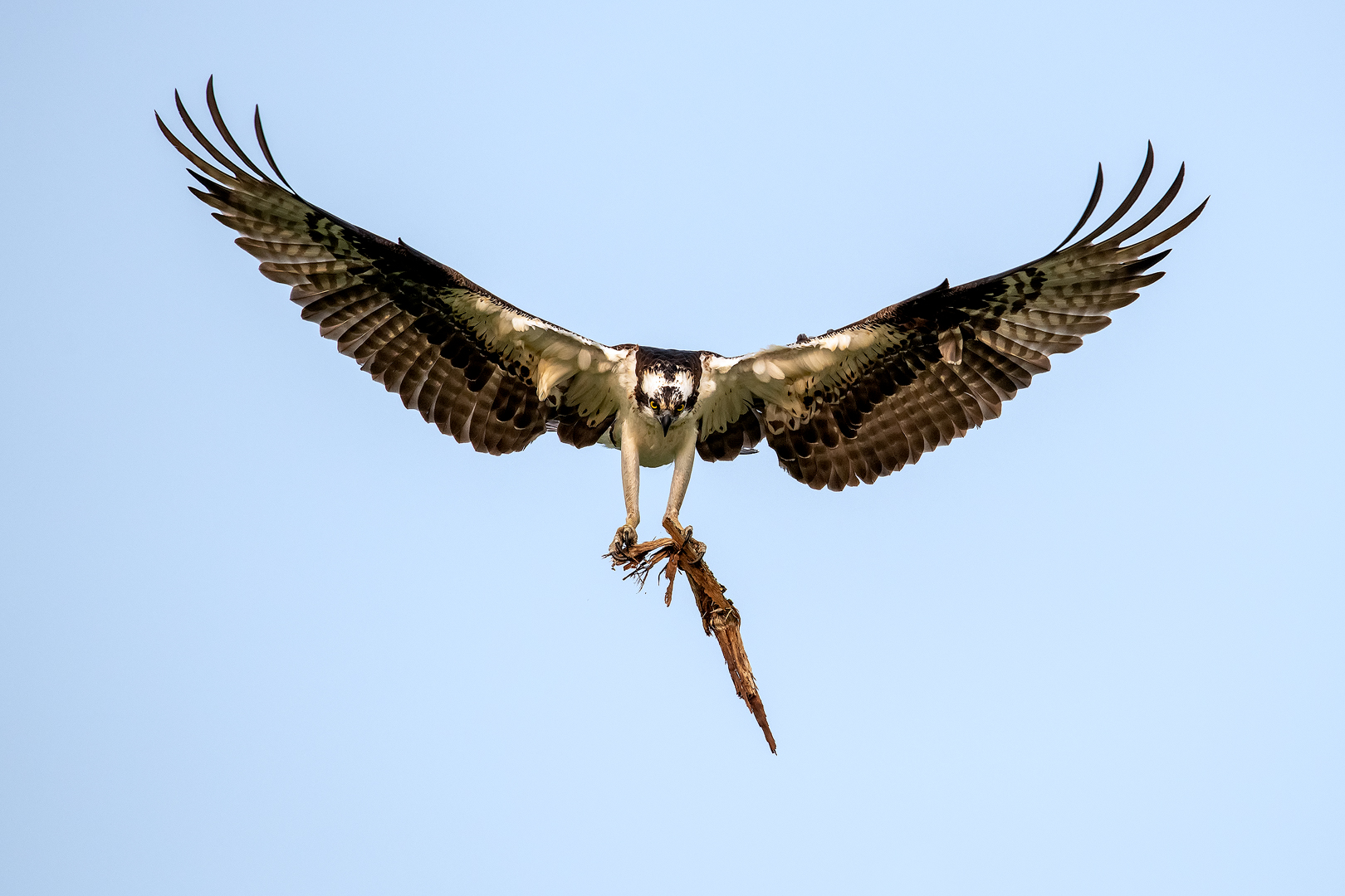 Paul Janosi – Osprey with nesting material – 3RD