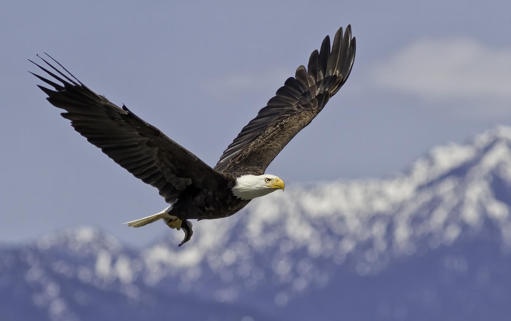 Roger Leekam – Bald Eagle with Fish – HM