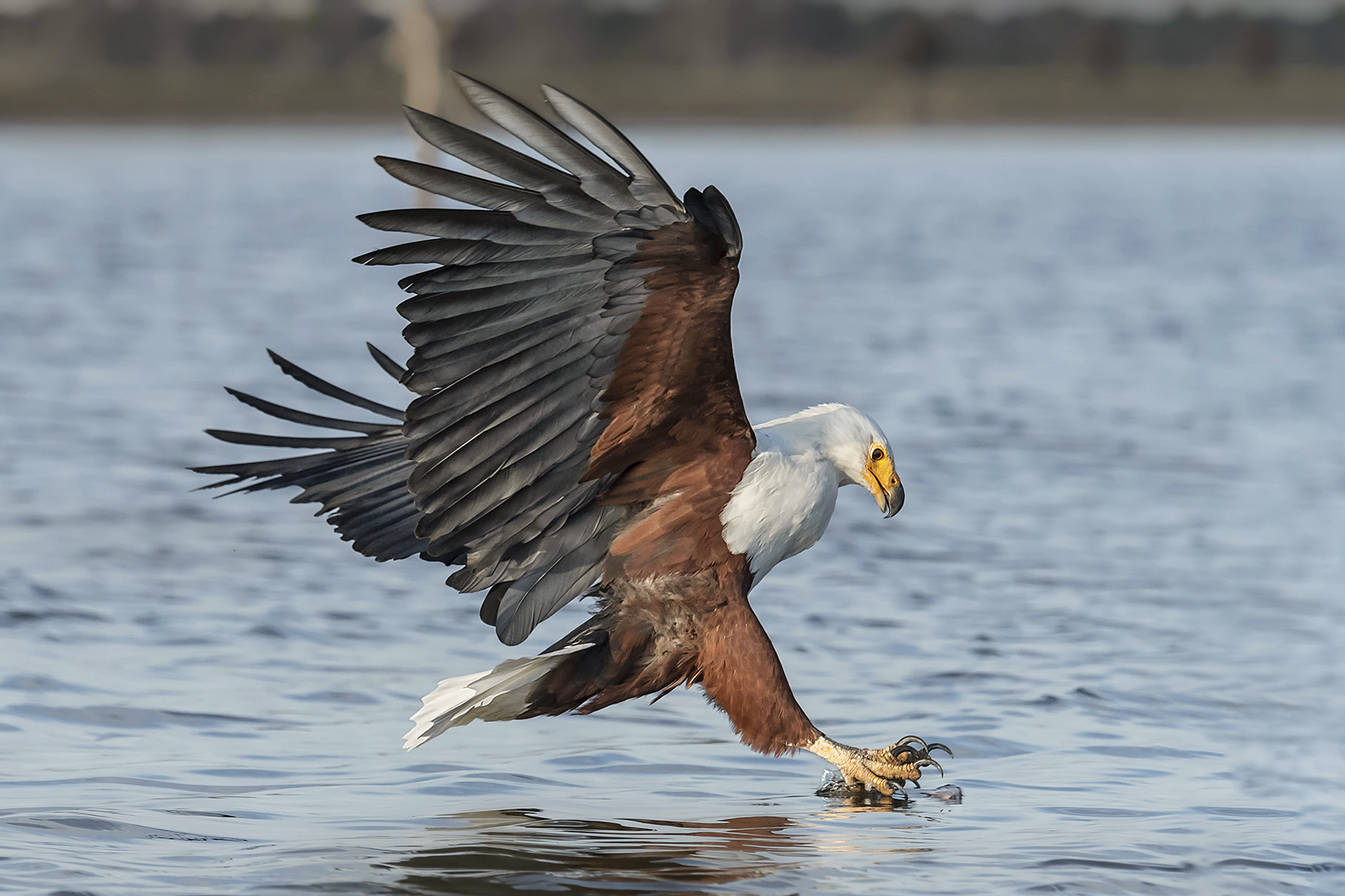 Sandy (Yan Hua) Lu – African fish eagle hunting – HM