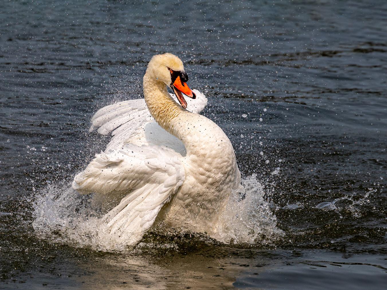 Michael Laezza – Swan – 2ND