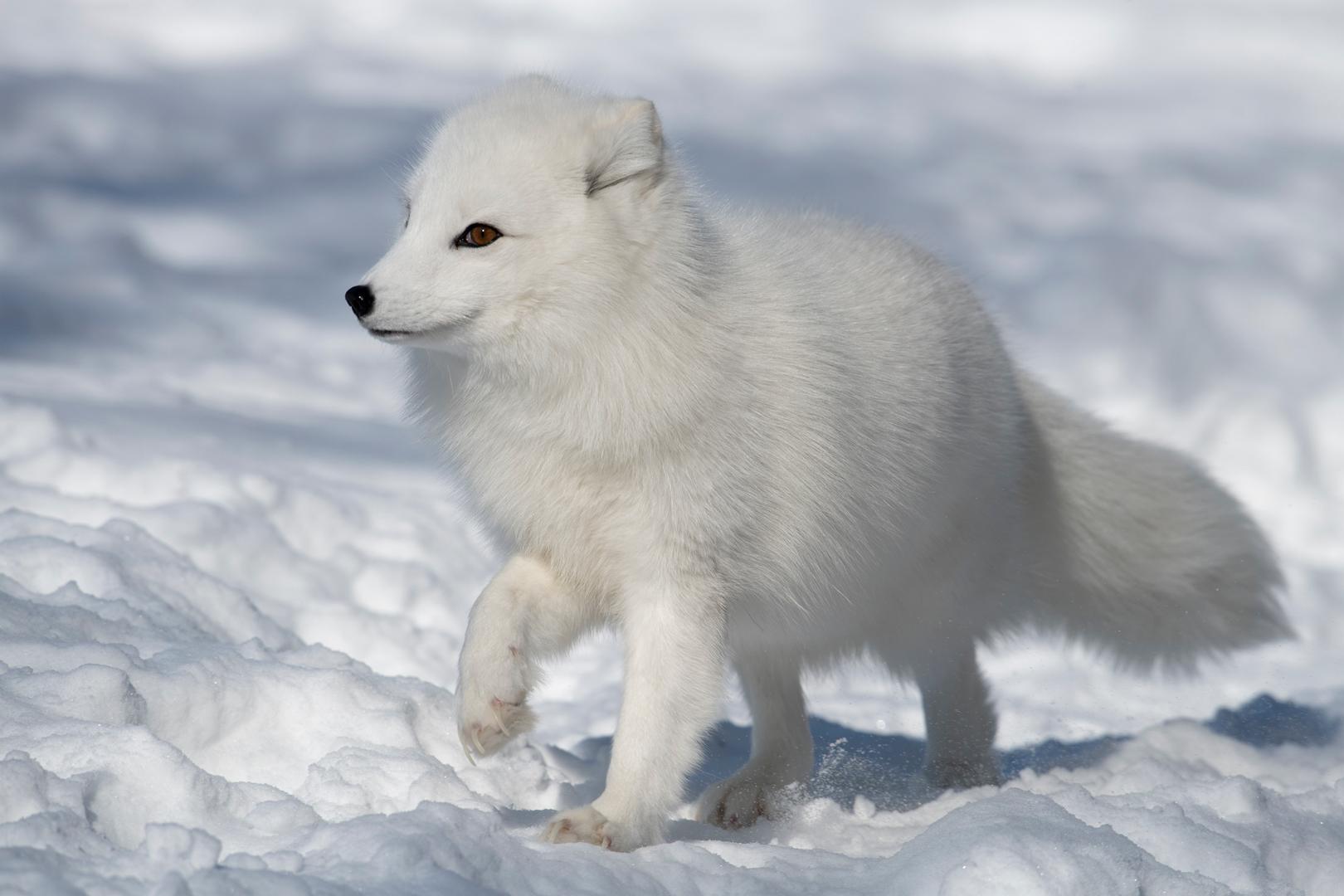 Paul Janosi – Arctic Fox – 2ND