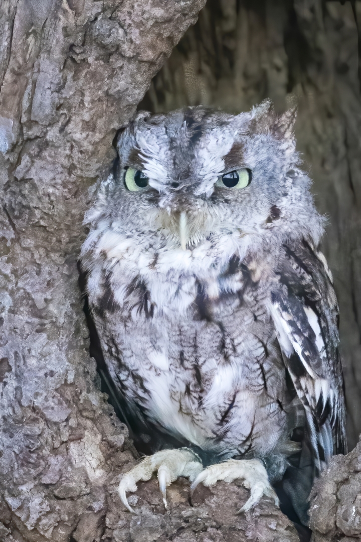 Steven Desrocher – Eastern Screech Owl – HM