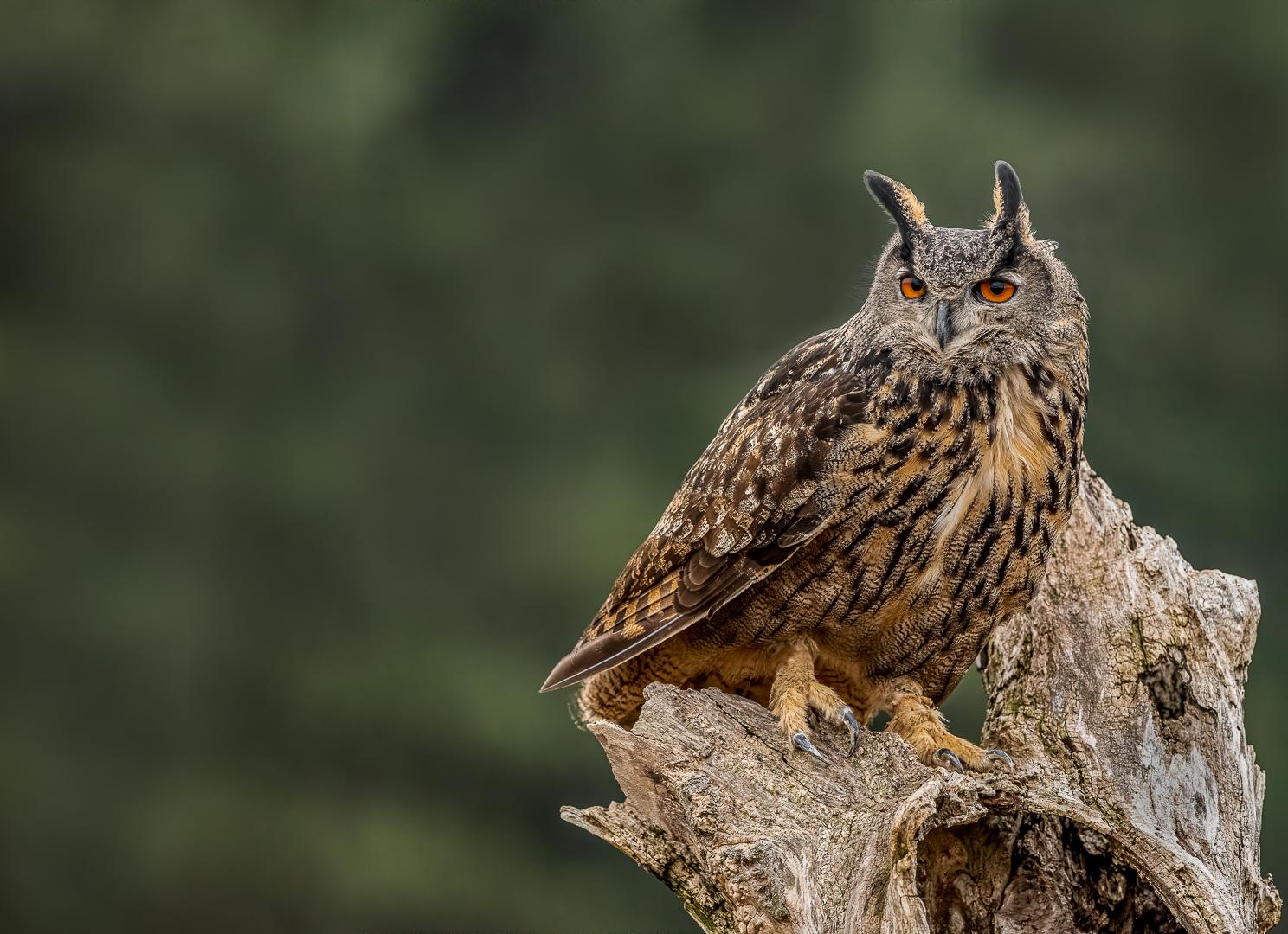 Vincent Filteau – Eurasian eagle-owl – 1ST