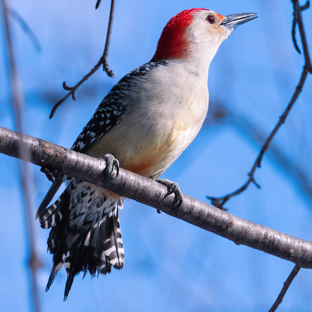 John (Giovanni) Colonna – Male-Red Bellied Woodpecker – 2ND